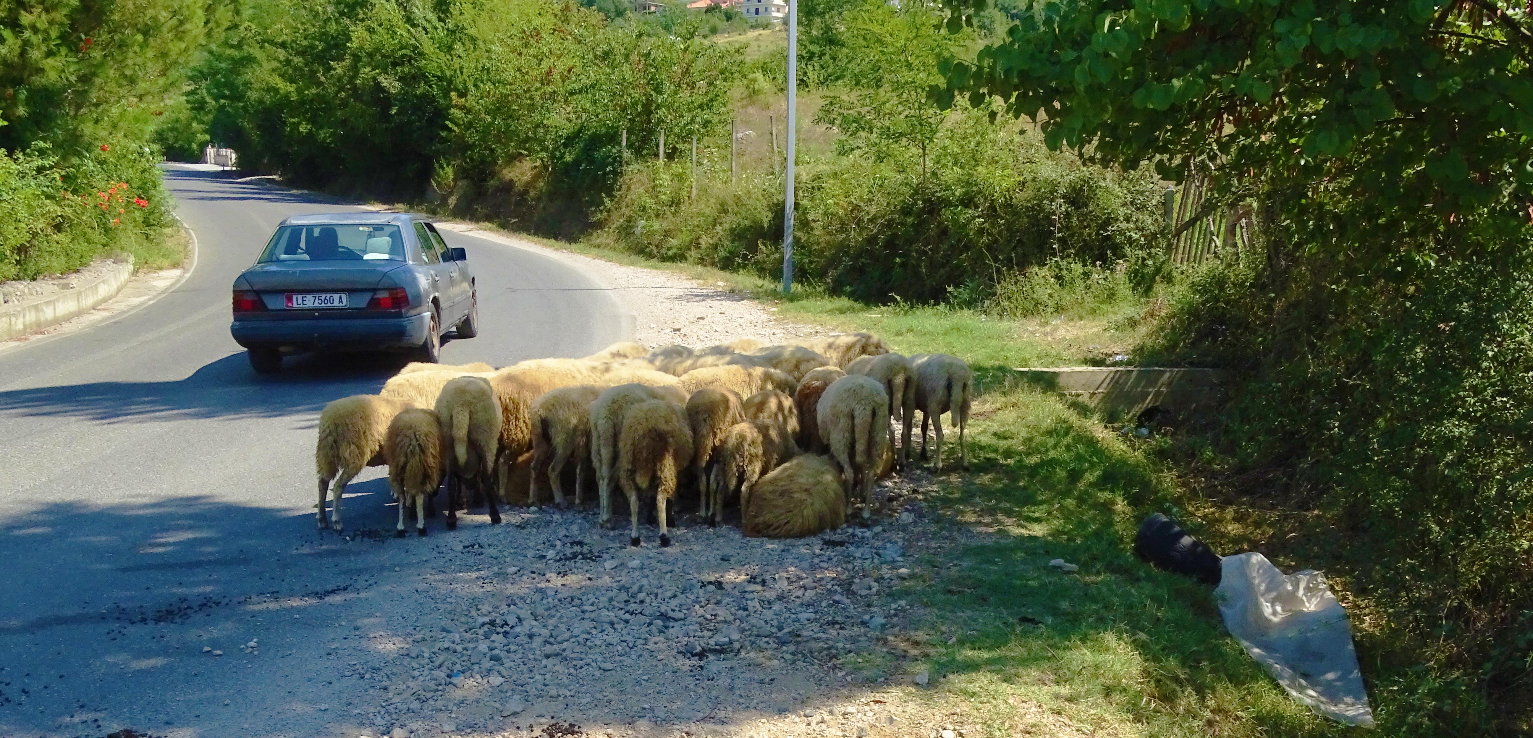 pecore_macchina_albania